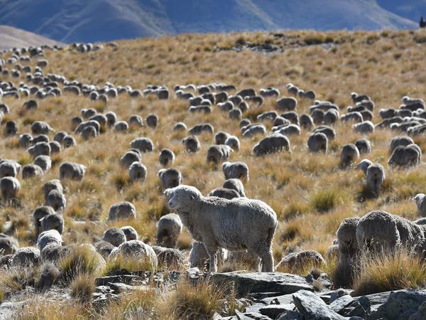 Methane emitted by ruminant animals such as cattle and sheep accounted for 34% of New Zealand's greenhouse emissions in 2017. A flock of merino sheep on the country's South Island is seen here in April 2017.