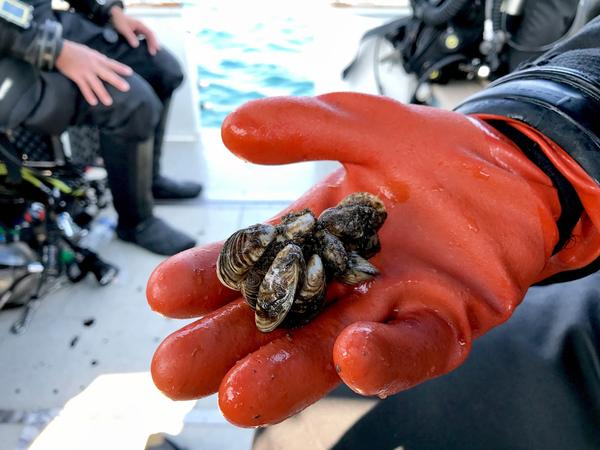 A scubadiver holds quagga mussels scooped from the bottom of Lake Michigan in September 2017.