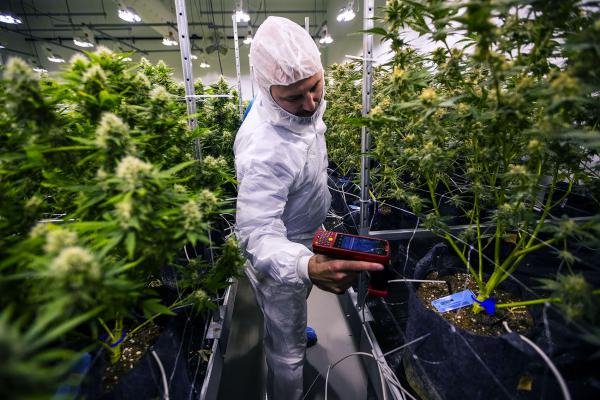 Millen scans tags that correspond to a database identifying every plant in the flowering room. (Jesse Costa/WBUR)