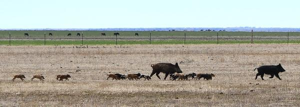 This group of feral hogs includes 16 piglets. The image was taken in Texas on March 24.