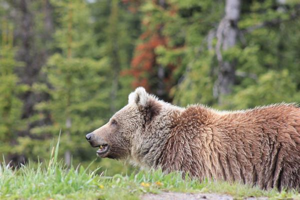 Grizzly bear. Stock photo.