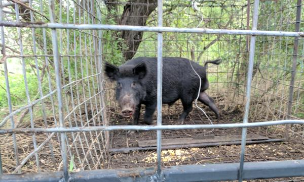 A feral hog bleeds from the snout as it continues to ram its face to escape a steel trap.