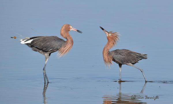 Two rare reddish egrets on Florida's Gulf Coast.
