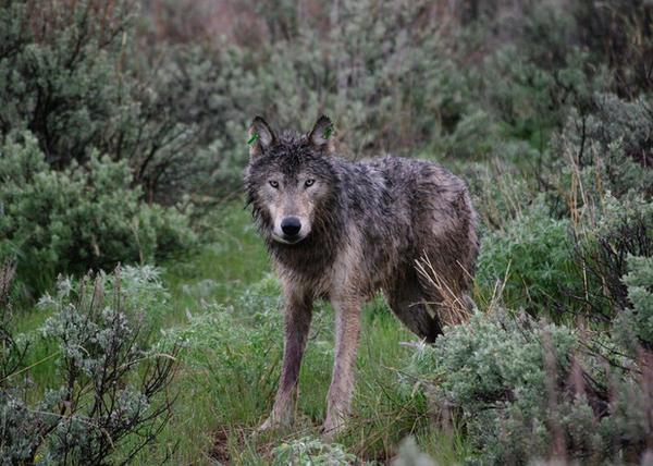 <p>Oregon's first radio-collared wolf is pictured here just after its release on May 3, 2009.</p>