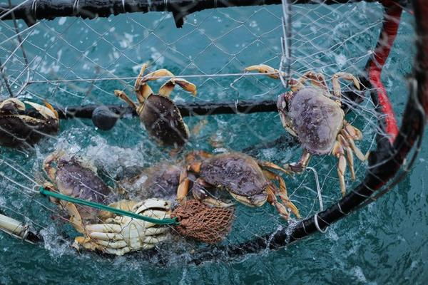 <p>Dungeness crab caught in crab pot off of Port Orford, Ore., on May 13, 2018.</p>