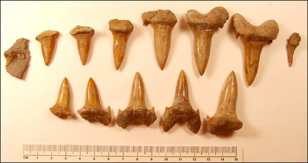 Cretodus teeth uncovered at Ringneck Ranch in Mitchell County, Kansas.