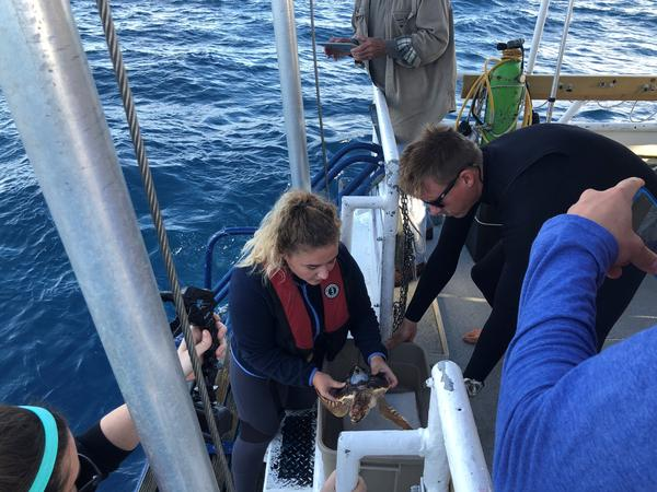 Researcher release six young loggerhead turtles in the Atlantic Ocean.