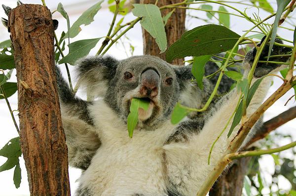 A koala relaxes at the world's largest and oldest-established koala haven: Lone Pine Koala Sanctuary near Brisbane,
