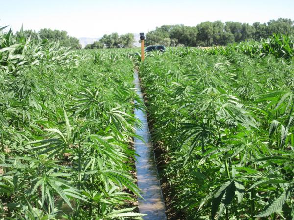 Industrial hemp in Colorado