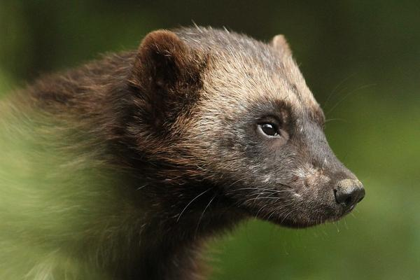 The U.S. Fish and Wildlife Service last took action on the wolverine in 2016, when it reopened the public comment period on a proposed rule listing the wolverine as a threatened species.