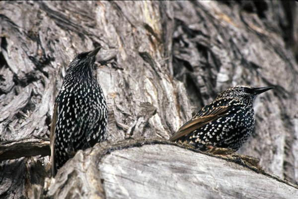 A picture of the European Starling, a prevalent invasive species found in national parks throughout the country and the Mountain West.
