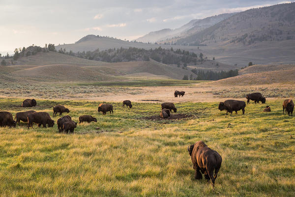Bison graze in Lamar Valley in Yellowstone National Park, August 18, 2016.