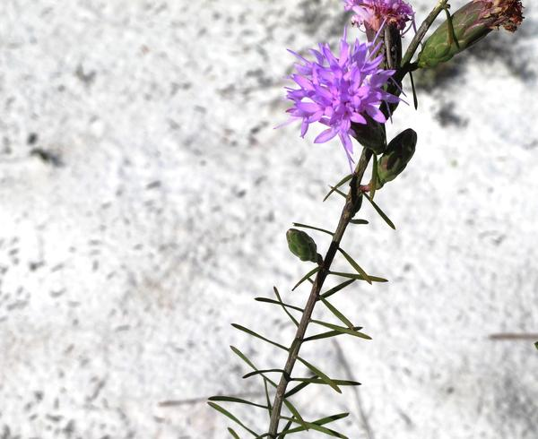 Rare Scrub Blazing Star at Archbold Biological Station