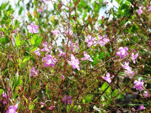 Rare plants at Archbold Biological Station