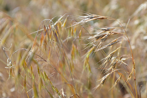 Cheatgrass is an invasive plant spreading across the West.