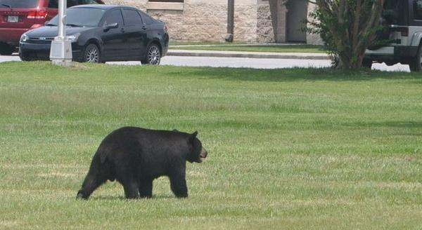 The report keeps open the possibility of permitted hunting if interactions between bears and humans escalate amid the increasing number of people in the state.U.S. AIR FORCE/AIRMAN 1st CLASS ALEX ECHOLS