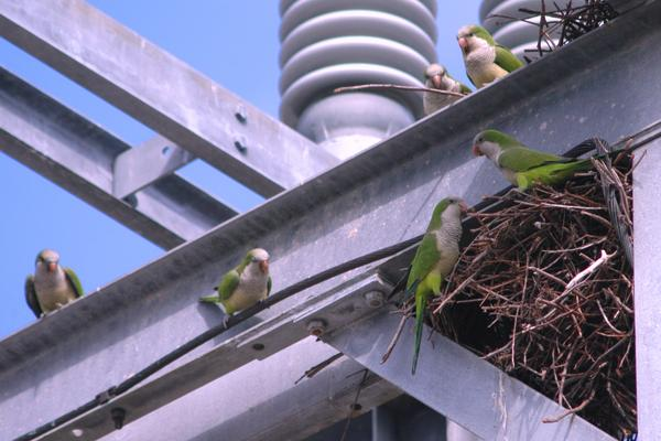 Not all invasive species are big, scary pythons. These monk parakeets threaten Florida's native birds.