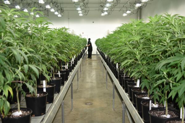 Revolution Global, the largest producer of medical cannabis in Illinois, is one of 14 cultivators approved to grow for adult recreational use. Take a look inside their facilities in Delavan.