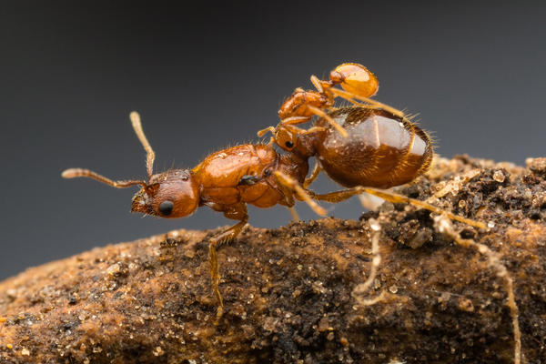 Rodeo ants are rare, and they get other ant colonies to do their work for them.