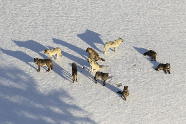 The Junction Butte Wolf Pack is one of the most famously observed in Yellowstone.