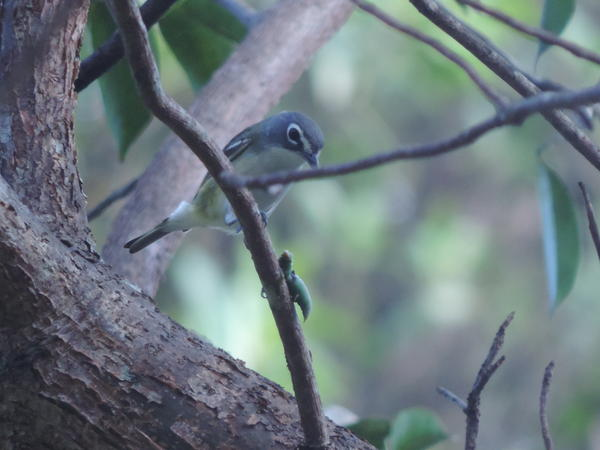 A migrating blue-headed vireo spotted Saturday during Tropical Audubon's Miami Christmas Bird Count.
