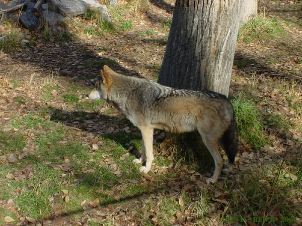 A timber wolf.