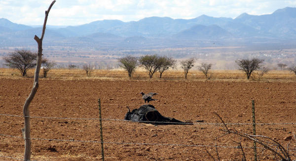 A vulture picks at a dead steer. Ranchers say many cattle have died because of the drought that has ravaged much of Mexico.