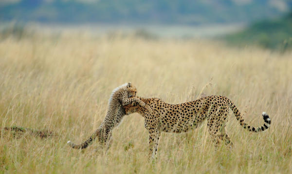 """""""I was very lucky of sighting and photographing Malaika, the name of female Cheetah, and her cub."""""""