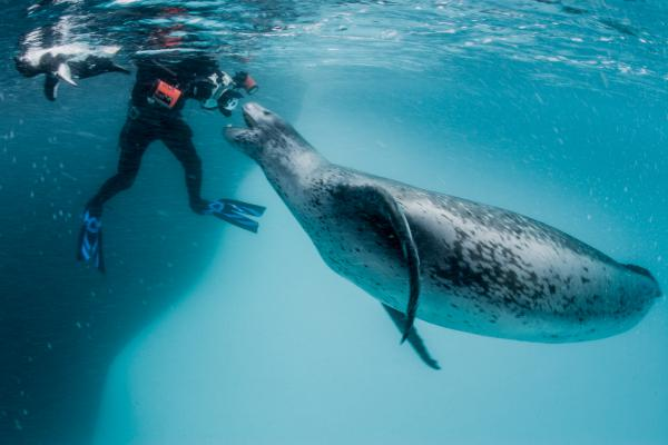 """This leopard seal started getting aggressive and began giving guttural vocalizations, which could have been signs of aggression. """"I want to get close, but I also never want to harass an animal,"""" Paul Nicklen says."""