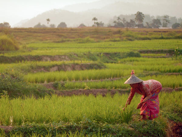 An increase in atmospheric carbon dioxide would lead to a decrease in the nutritional content of many foods, such as rice, seen here growing in Malaysia.