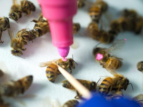 A new study from the University of Texas at Austin suggests that bees exposed to glyphosate, the active ingredient in Roundup, lose some of the beneficial bacteria in their guts and are more susceptible to infection and death.