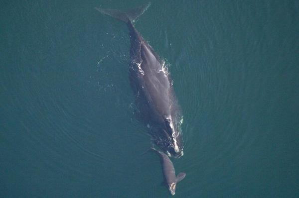 North Atlantic right whale swims with calf.