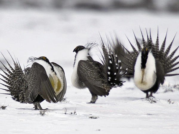 The Trump administration is revising conservation plans for the greater sage grouse, an imperiled Western bird, in seven U.S. states.