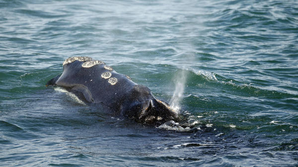 In this photo from March, a North Atlantic right whale feeds off the coast of Massachusetts. A new North Atlantic right whale calf was just spotted — and it's the first calf sighting in over a year.
