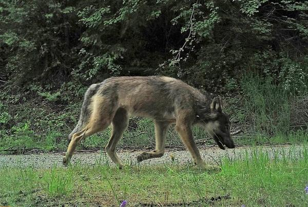 <p>A photo of a male wolf from the Sherman Pack captured by a camera trap.</p>
