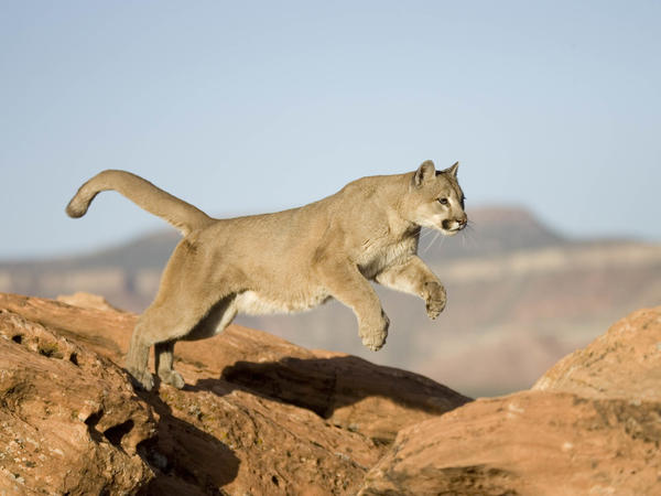 A mountain lion leaps from a rock in this file photo. A man in Colorado successfully defended himself from a mountain lion attack while he was jogging on a trail Monday.