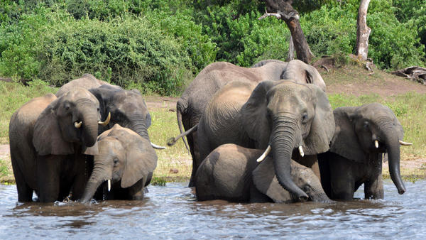 Elephants drink water in Botswana's Chobe National Park. The government is considering lifting a hunting ban to cull the population.