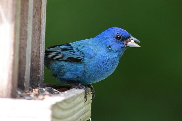 Songbirds, like indigo buntings, are becoming more popular for illegal trapping and selling within the pet industry. State wildlife officials are trying to stop it.