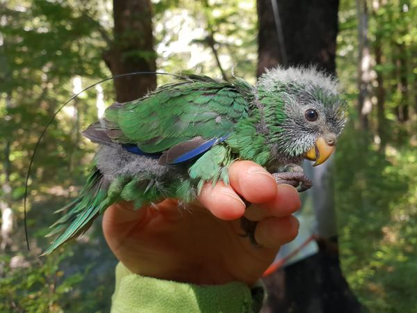 The small bird was believed to have gone extinct, but after a bumper crop of beech seeds this year, conservationists estimate the orange-fronted parakeet population has likely doubled.