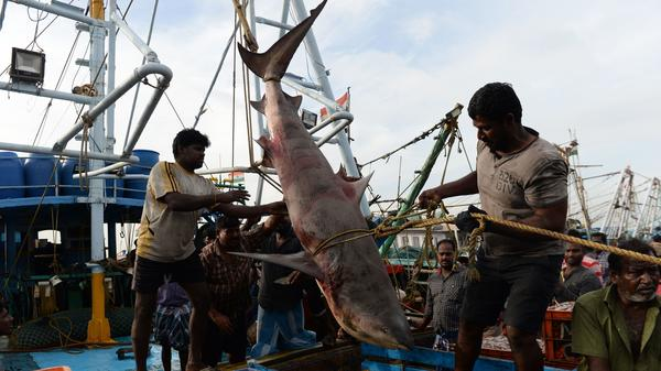 Indian fishermen pull up a shark from a boat for sale at a harbor in Chennai in June 2018. Many shark species tend to congregate in the same areas as industrial fishing ships, a study finds.