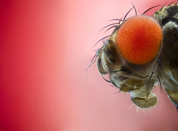 """It may plague your summer peaches and plums, but the fruit fly is """"one of the most important animals"""" in medical research, says conservationist Anne Sverdrup-Thygeson."""