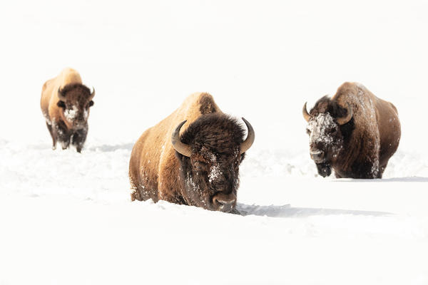 Bison migrate out of Yellowstone National Park each winter in search of food at lower elevations.