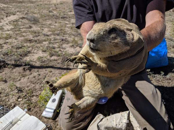 Ecologist Dan Salkeld holds a prairie dog after weighing it for a study at Bluff Lake Nature Center in Denver.