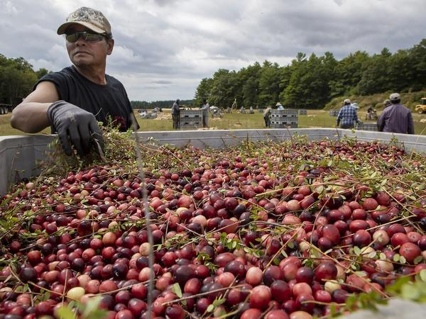 A worker at a bog owned by Massachusetts-based Decas Cranberry Products, Inc., removes vines from a batch of just-harvested berries.