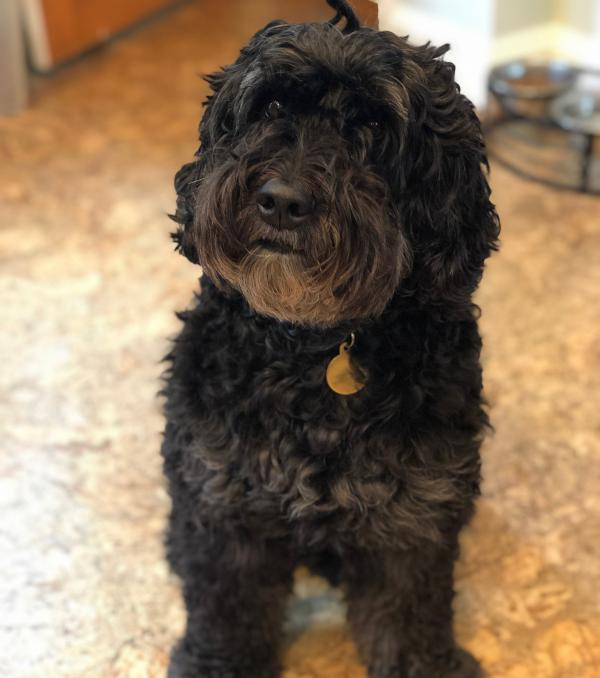 Sadie, a black, Australian labradoodle, is 7 years old. The idea that she's 49 in human years isn't right. Researchers now say she's closer to 62.