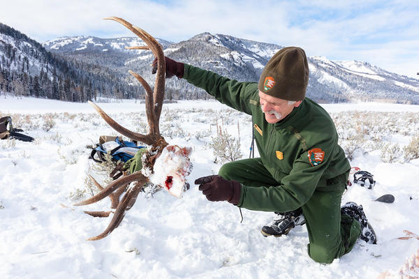 Doug Smith, a Yellowstone National Park senior wildlife biologist, examines the skull of an elk that was killed by a wolf.