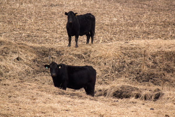The number of beef cattle in the United States is leveling off after some years of growth.
