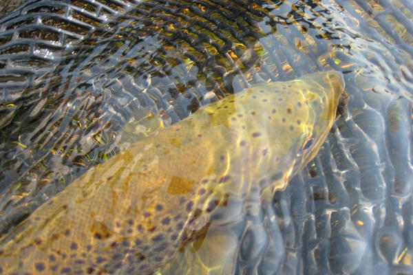 The Madison River is one of the most productive fisheries in Montana for brown trout (image above), rainbow trout and mountain whitefish.
