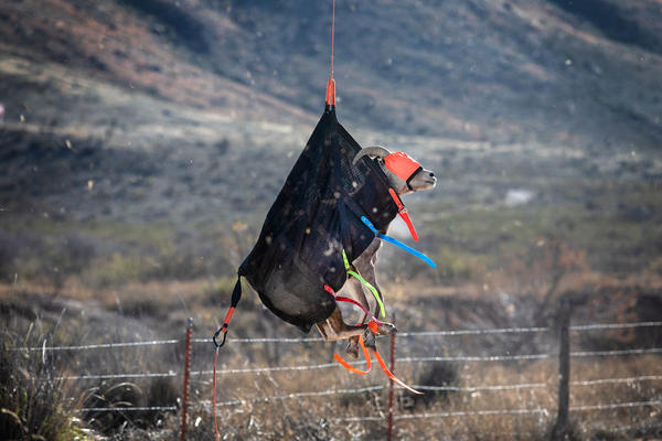 A sheep, blindfolded and dangling from a helicopter, is lowered to the ground at the field study site where veterinarians and researchers will collect data about the species. The relocation is meant to revive the bighorn sheep population in West Texas.