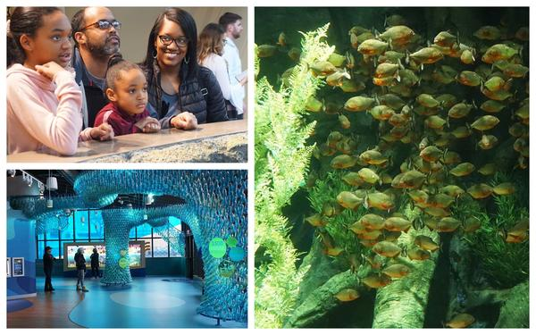 Clockwise from upper left, the Drake family observes an open-air demonstration by a staff member at the St. Louis Aquarium, piranha swim inside their enclosed habitat and visitors explore the free Conservation & Education Center connected to the aquarium.